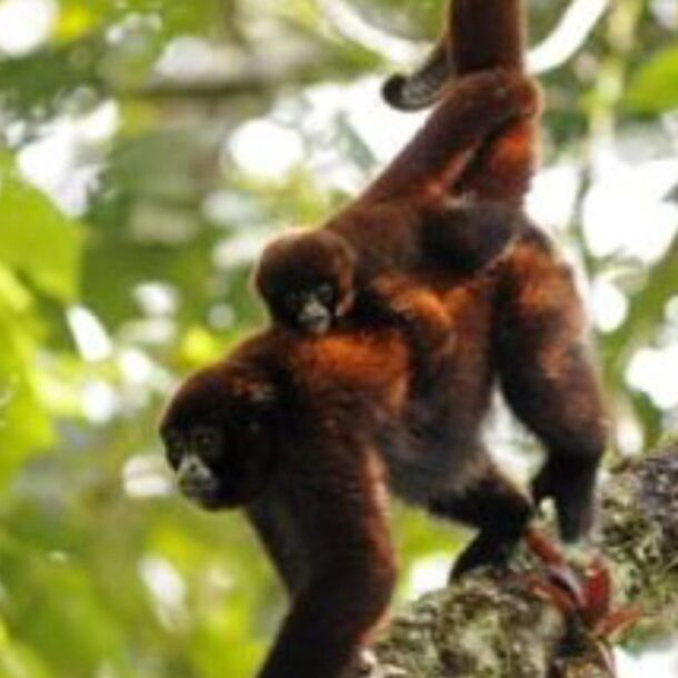 yellow tailed woolly monkey