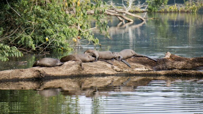 giant otters lake manu peru