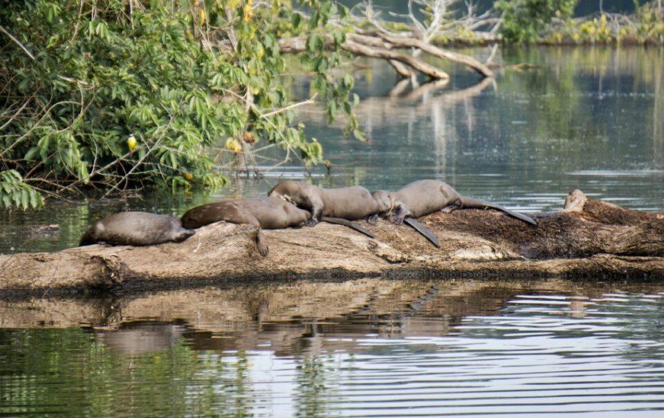 giant otters lake manu peru