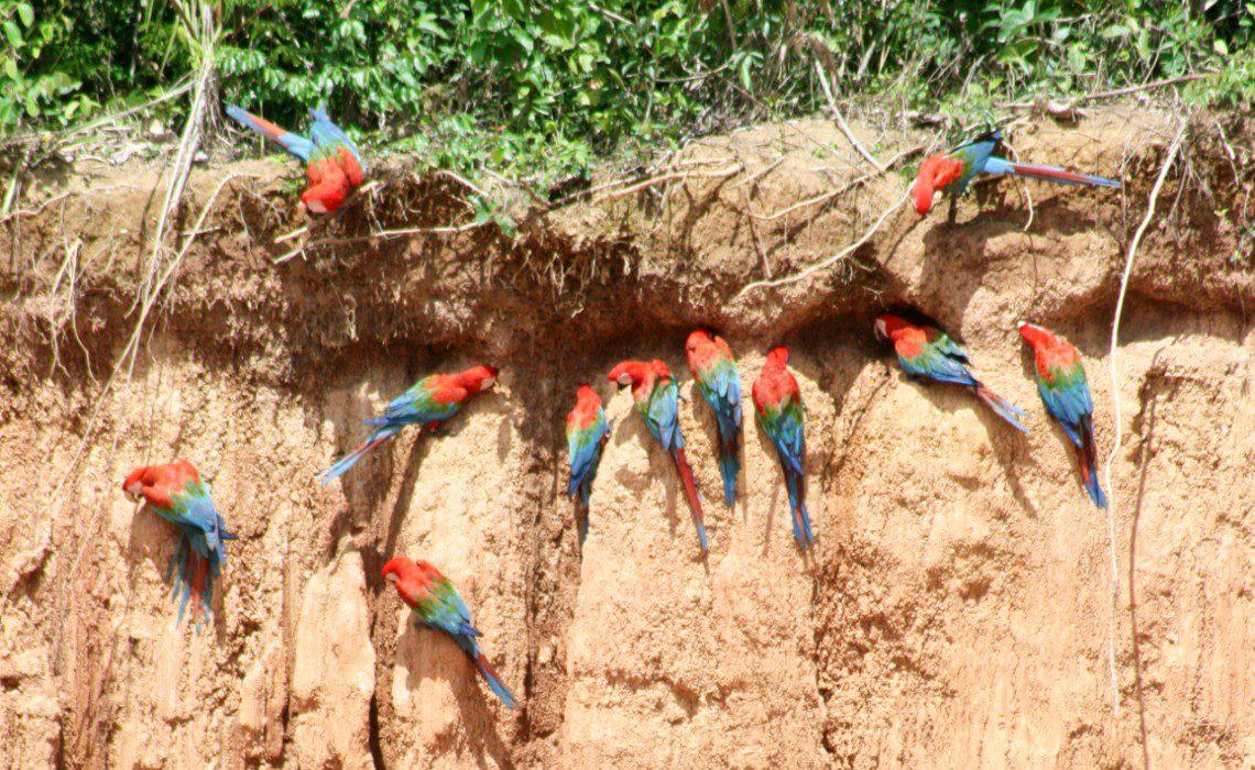 Macaw parrots eat clay Peru