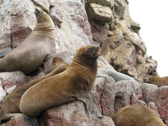 sea-lions-paracas