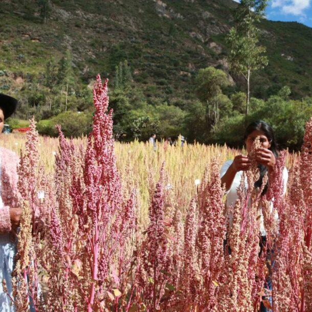 quinoa farmers andina