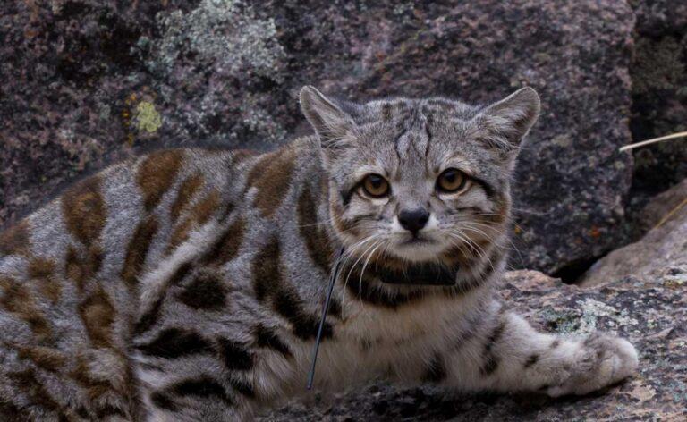 Andean cat endangered animals of Peru
