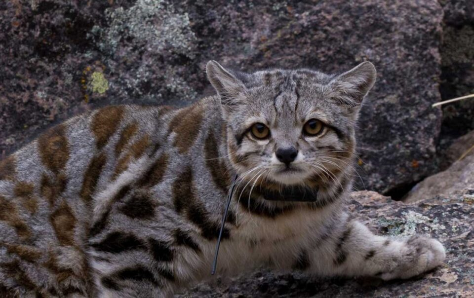 Andean cat endangered animals of Peru