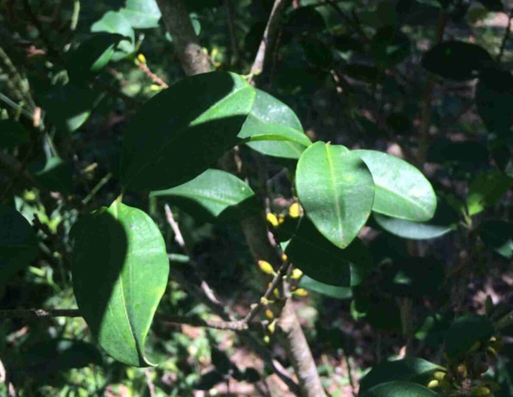 huayro tea6
