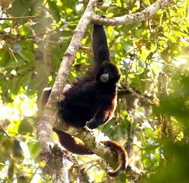 wooley monkey