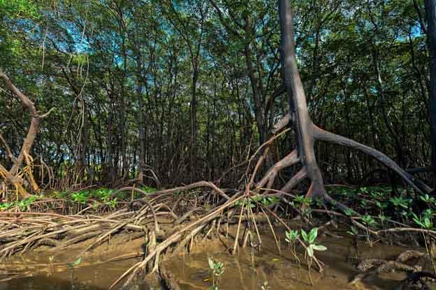 Mangrove roots