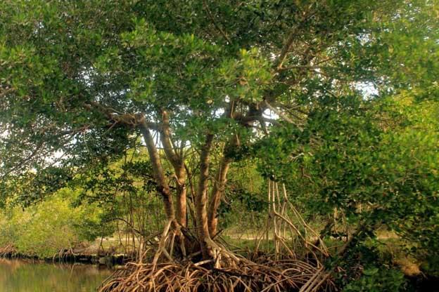mangrove peru