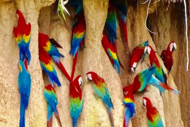 chuncho macaw