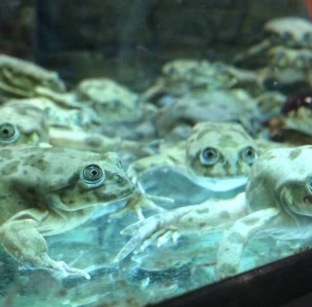 Lake_Titicaca_frogs_in_Denver_Zoo's_Tropical_Discovery