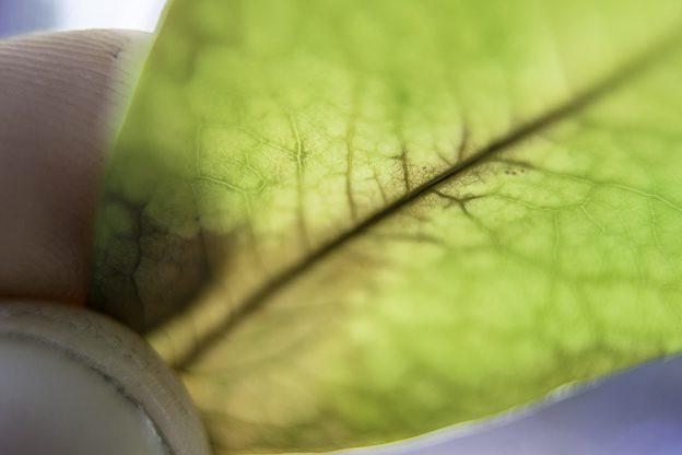 coca-leaf-