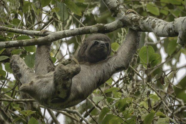sloth peru