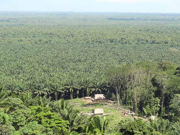 palm oil peru