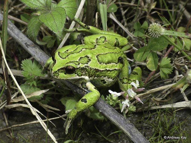 san lucas frog