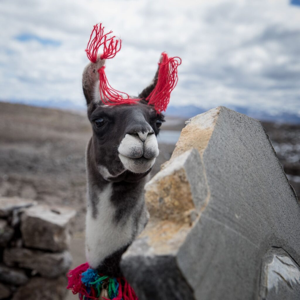 An ornamented llama in the Valey of Condors in Arequipa