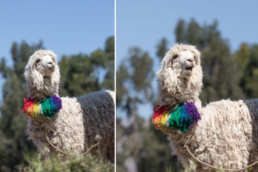 Funny llama in Cusco