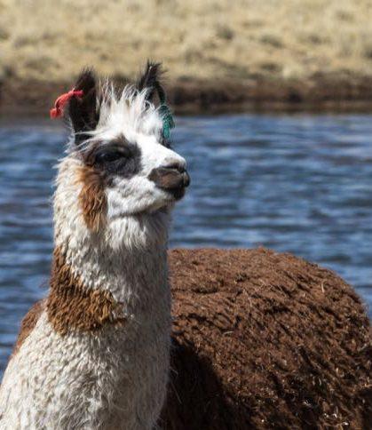 Llama in a lake