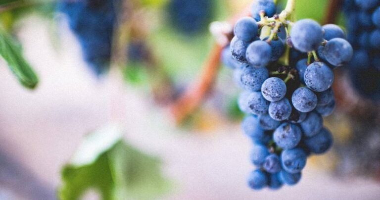 Piscopedia: Learn about grape varietals and all types of pisco