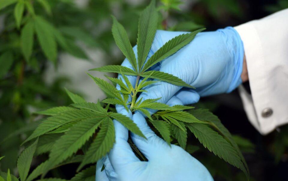 medicinal cannabis andina