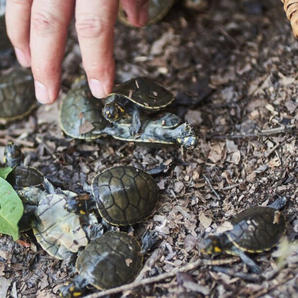telesur taricayas turtles loreto