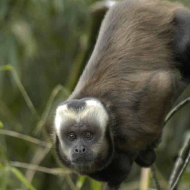 Large-headed_capuchin_Sapajus_macrocephalus