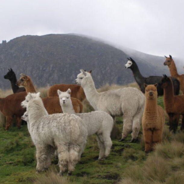 alpacas andina