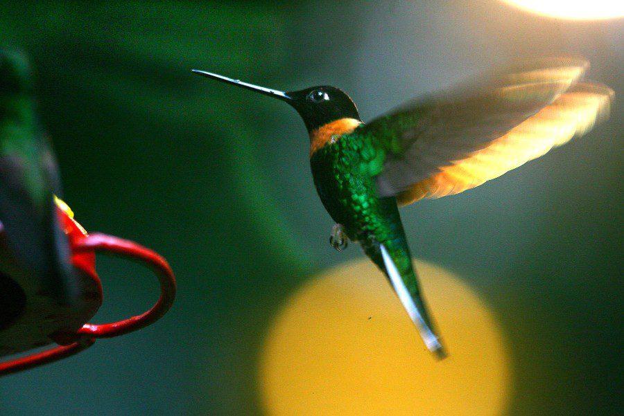 peru-birdwatching-hummingbird-andina