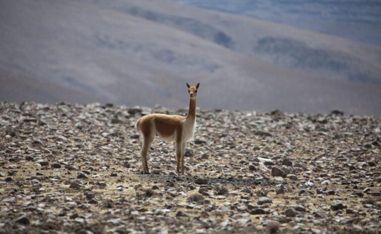 vicuña animals of Peru