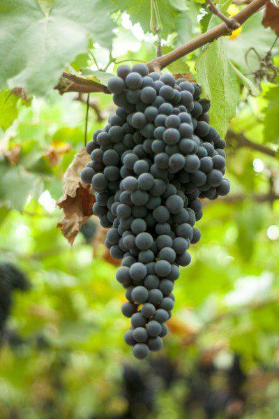 Peruvian vines negra criolla grape