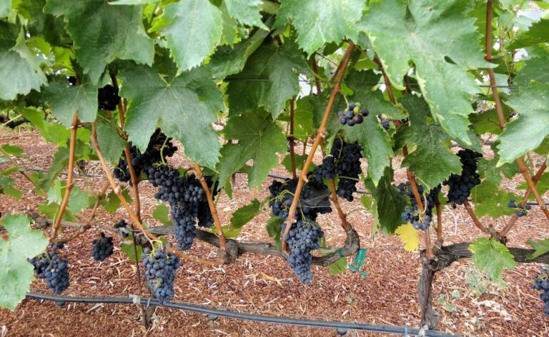 Sonoma Valley Peruvian grape vines