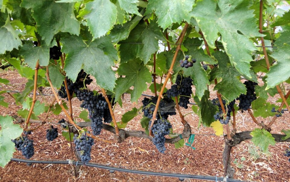 Sonoma Valley Peruvian grape vines