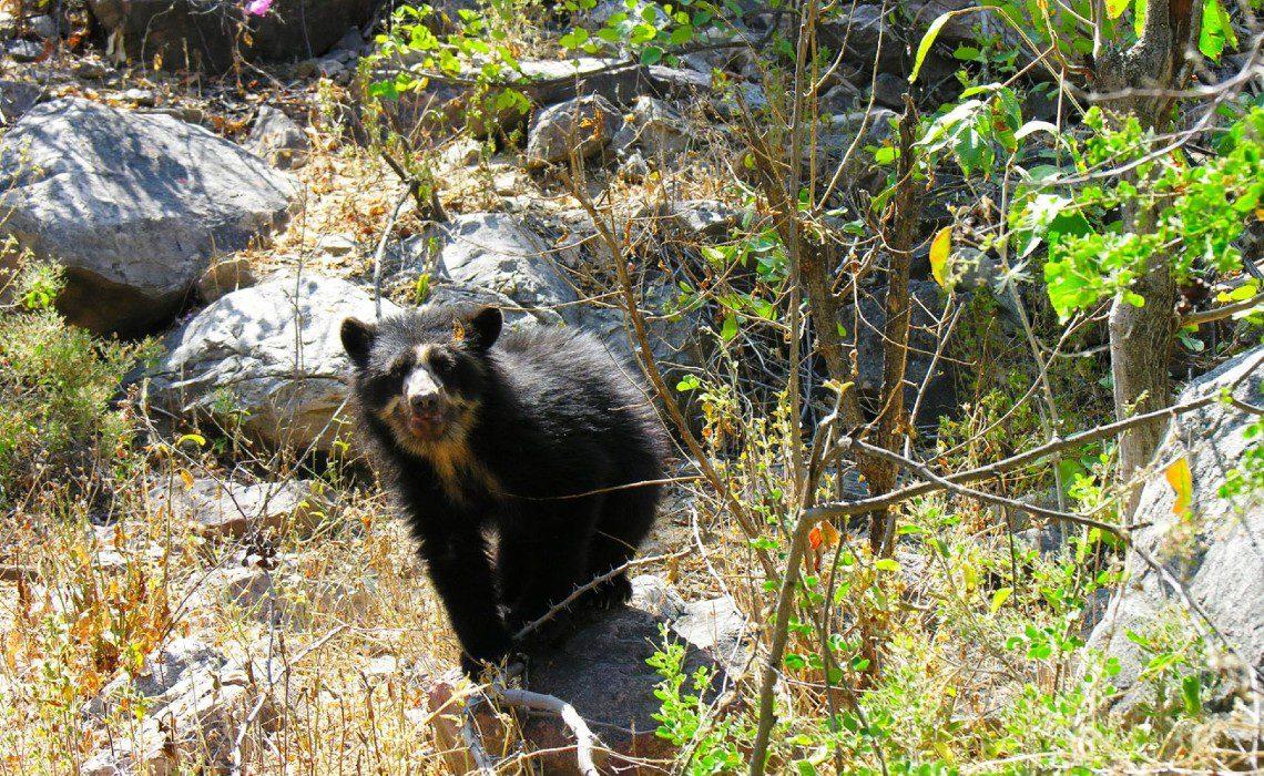 spectacled bear machu picchu