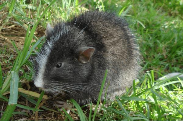 native-rodent-Machu-Picchu