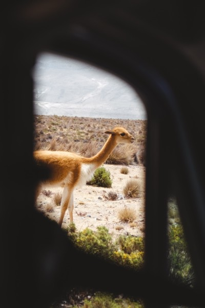 vicuña-camelid