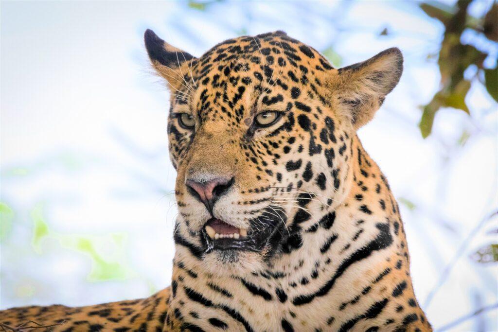 Jaguar-Manu National Park