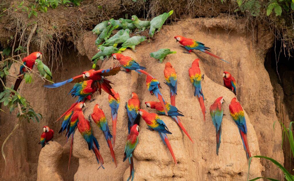 Macaw Clay Lick Manu National Park