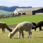 Miracle in Puno: Female Alpaca Lays an Egg
